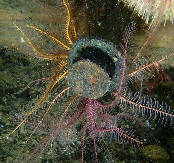 Feather-star on copper nail © Penny Martin