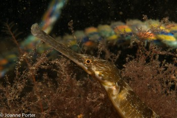 Pipe fish © Joanne Porter